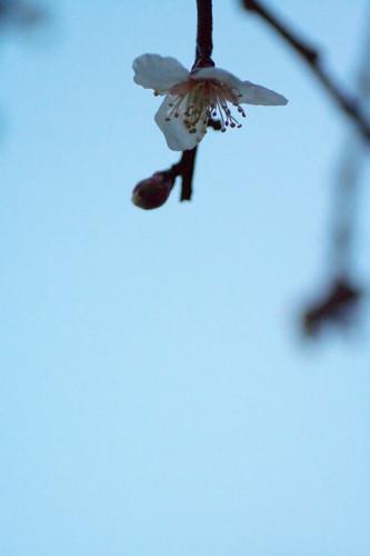 雨あがり 夕暮れ時 梅の花 #2