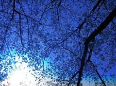 sakura_blue