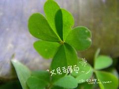 P3120126-clover