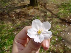 060404 Sakura