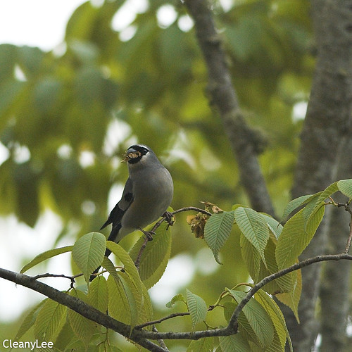 0010灰鷽 Grey-headed Bullfinch