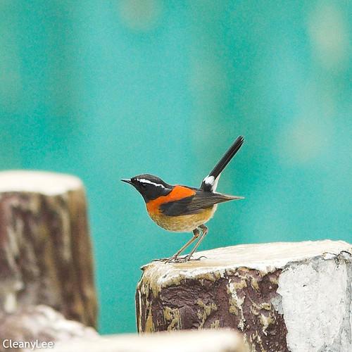0023栗背林鴝(雄鳥) Collared Bush Robin(male)