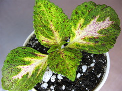 Unknown Coleus 5/19/06