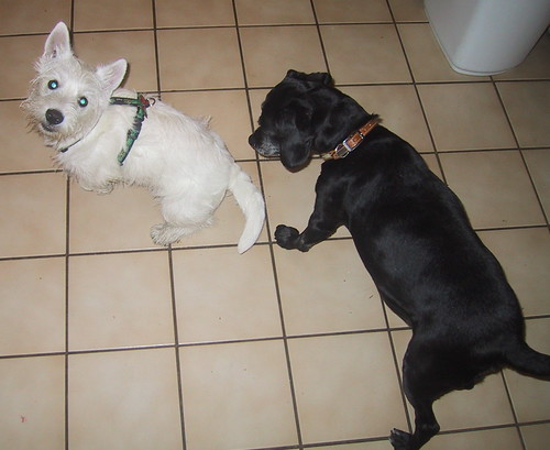 Black Dog and Guest Westie Puppy