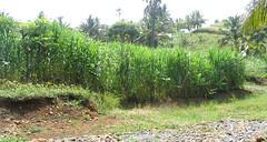 Rumput Gajah King Grass (Pennisetum purpureum cv. King Grass) di desa Cimahi, kec. Caringin, kab. Garut.