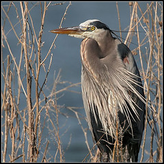 Great Blue Heron photo by amkhosla
