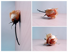 old rose in 3D photo by CCCvrcak