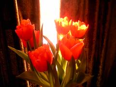 lambent tulips