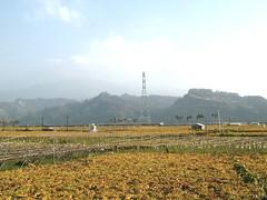 黃黃綠綠的是葡萄園