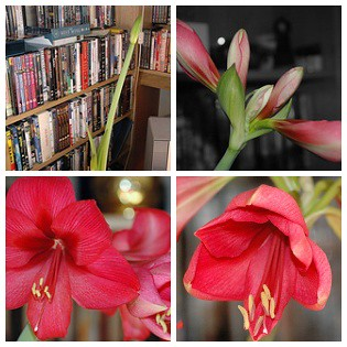 pictures of amaryllis