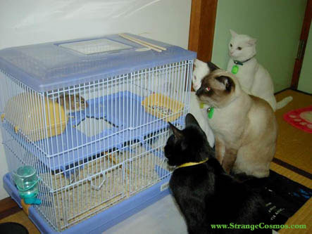 cats staring at gerbil in cage fascinated