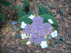 H. aspera 'Macrophylla'