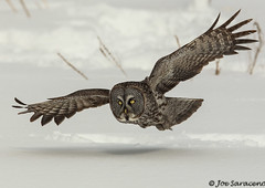 Great Grey Owl photo by jsaraceno1971