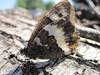 papillon le Silène-Bintesia circe- Satyre