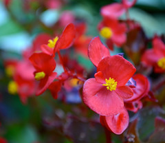 Begonias {Explored} photo by linda_lou2