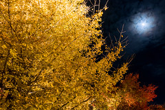 Ginkgo and Moon photo by peaceful-jp-scenery