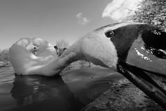 Mute Swan attack!, Somerset, Ian Wade photo by Disorganised Photographer - Ian Wade - Travel, Wil