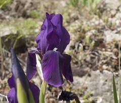 Iris en el camino de San Blas al Pantano de El Arquillo. photo by cachanico