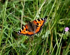 Small Tortoiseshell Butterfly Bucklesham Suffolk photo by Chris Baines