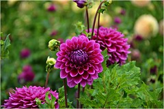 Gonzo Grape Dahlias in the field 8 24 2013 photo by rbdal (Back online)