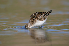 Little Stint, NORFOLK 7th & 8th October 2006 No4, 196a photo by Adrian Dancy