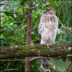 Accipiter Supreme photo by Wily Fawlet