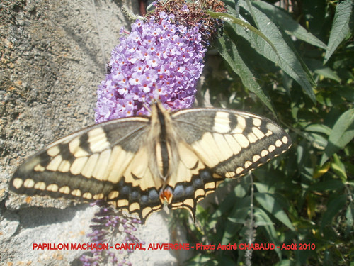 PAPILLON MACHAON 3