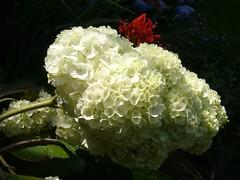 H. quercifolia 'Harmony'