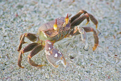 Maldives Crab photo by MohdShareef