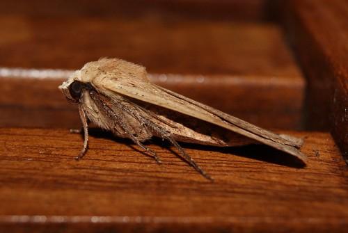 Papillon le Hibou ou Noctua pronuba ou la Noctuelle Fiancée
