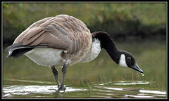 Canada Goose (Branta canadensis) photo by JoPoBePo