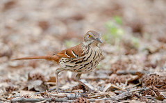Brown Thrasher photo by cre8foru2009