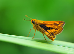 |Common skipper walk in green grass| photo by Zawawi Isa