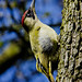 Green Woodpecker - Calling