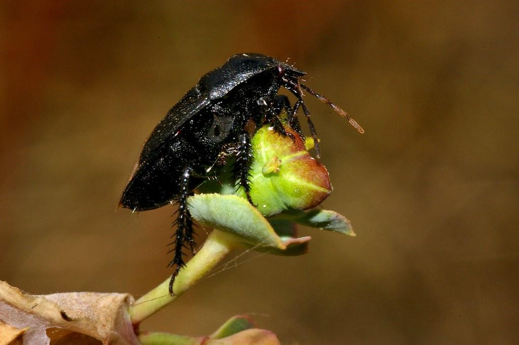 Cydnidae