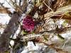 Mélèze fleur femelle