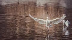 The Egret photo by Sherif Wagih