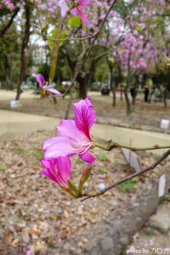 10-3_台南公園羊蹄甲