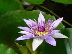 Lotus flower photo by gilloogo
