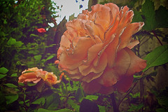 Wonderful rose photo by AlexNegoda