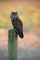 Long-eared Owl (Asio otus) photo by Jared Hughey