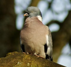Wood Pigeon, 'columba palumbus' Explored photo by Paul (Barniegoog)
