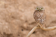 Little Owl (Athene noctua) photo by doritbz