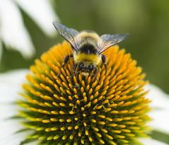 Bee on Echinacea photo by tonybill