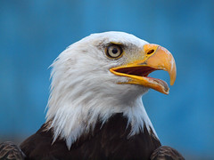 American Bald Eagle photo by Jim Bauer
