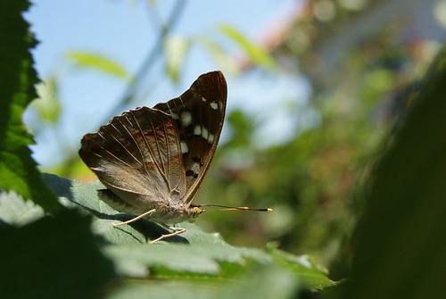 papillon Petit Mars Changeant ou Apatura ilia