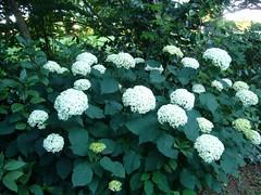H. arborescens 'Annabelle' (2)