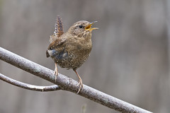 Pacific Wren photo by Nikon-gearhead