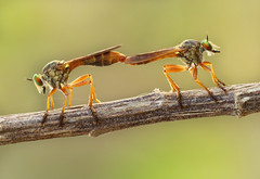 Robberfly Mating photo by karthik Nature photography
