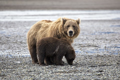 Brown Bears photo by Critter Seeker